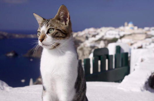 5 Interesting Facts About The Aegean Cat